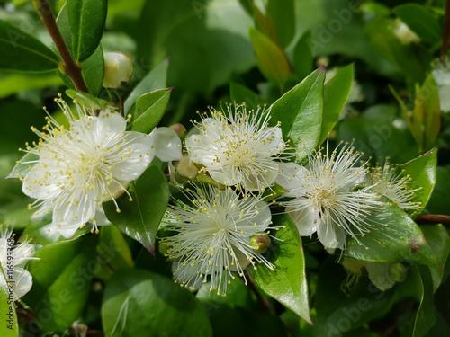 Leinwanddruck Bild Myrte; Myrtus, communis; Balsam; Myrtenstrauch