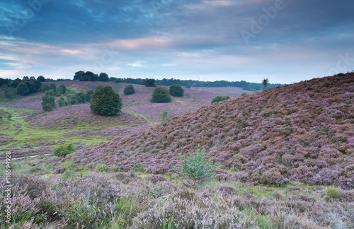 hills with flowering heather in summer - 116594928