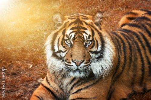 Tiger männchen bei Sonnenuntergang von nah im Portrait mit intensiven Augen Poster