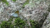 a Fluffy Tit butterfly is walking on the moss mat on the rock