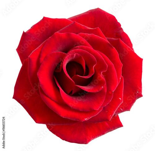 Staande foto Roses Rose flower isolated on white