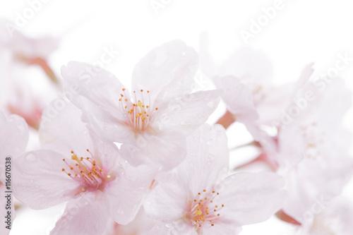 Zdjęcia na płótnie, fototapety, obrazy : 桜の花びら