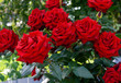 Large bush of red roses on a background of nature.