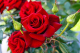 Large bush of red roses on a background of nature. - 116684913