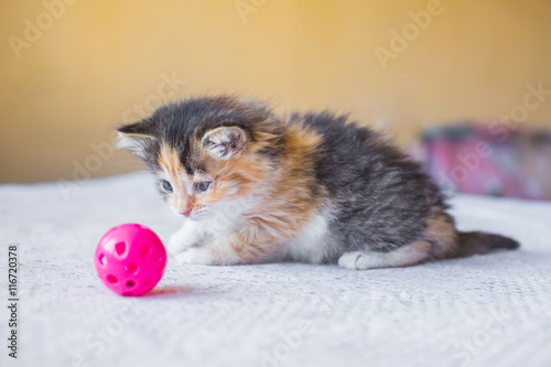 fototapeta na ścianę beautiful tricolor variegated kitten playing with toy ball. age