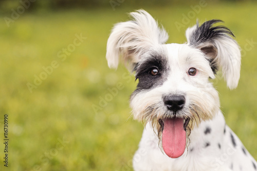 Black and White Schnauzer / Dalmatian dog with the tongue out