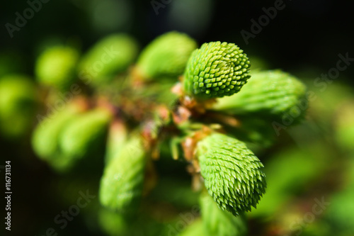 fresh spruce shoots on the branches of the tree closeup