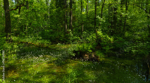 Glade in the green forest with small white flowers