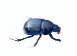 Metallic blue beetle crawling on white background 1