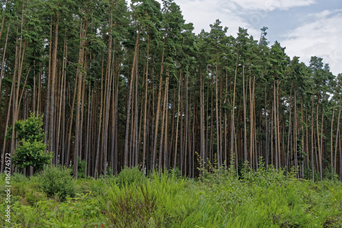 pine forest in summer