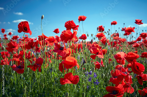 Poppy field flowers. Red poppies over blues sky background