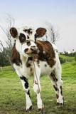 vaca manchada campo