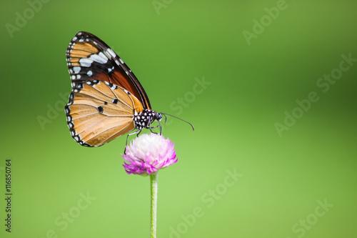 Butterflies in the garden flowers.