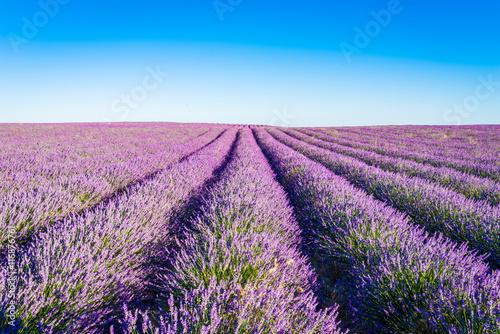 Keuken foto achterwand Lavendel Provence, Lavender field at sunset, Valensole Plateau