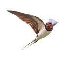 Barn swallow (Hirundo rustica) - 116883548