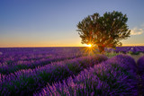 Tree in lavender field at sunset in Provence, France - 116890958