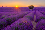 Tree in lavender field at sunset in Provence, France - 116890993
