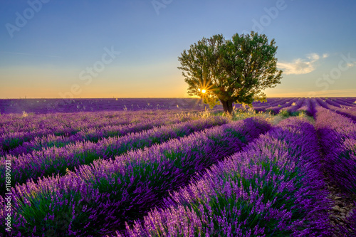 Obraz na Szkle Tree in lavender field at sunset in Provence, France