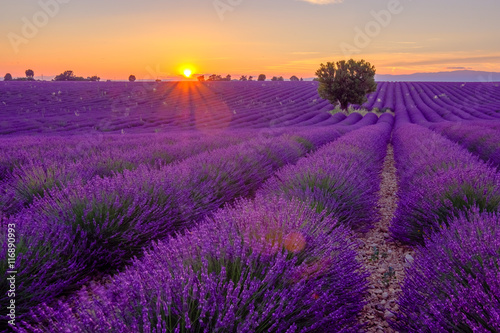 Foto op Canvas Violet Tree in lavender field at sunset in Provence, France
