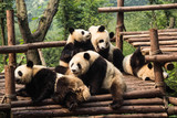 Five panda cubs relaxing in panda kindergarten