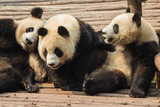 Three young pandas relax on a bamboo platform