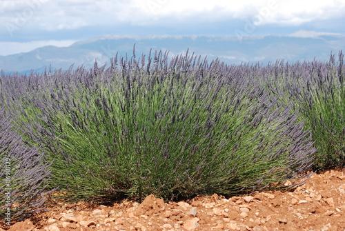 Fotobehang Lavendel lavandin