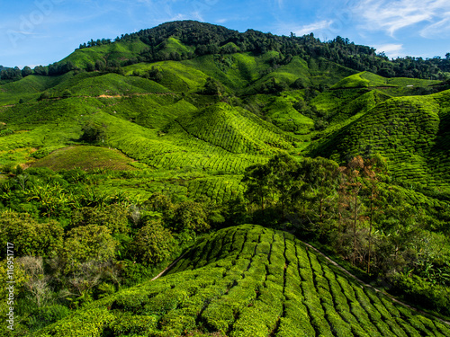 Fototapeta Tea Plantation on the mountain at Cameron Highlands, Malaysia