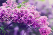 Blossoming lilac flowers in the garden. Natural beauty. Color toning effect.