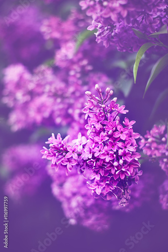 Lilac flowers blossoming.