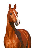 Chestnut horse isolated on white