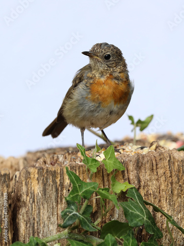 Poster Close up of a Young teenage robin starting to develop his red chest feathers