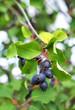 Ripe amelanchier berries on bush, closeup