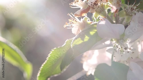 Apple tree with white blossom. Flowers on the branches. 1920x1080. Full Hd  © Pavel Chernobrivets