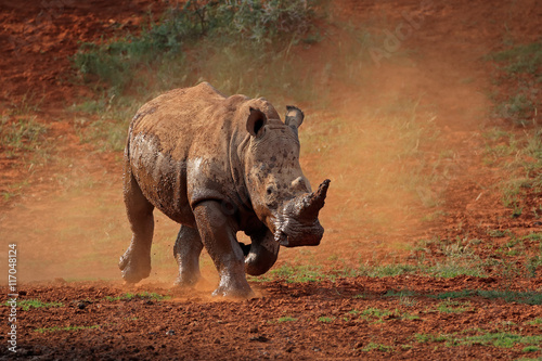 Fotobehang Neushoorn A white rhinoceros (Ceratotherium simum) running in dust, South Africa.
