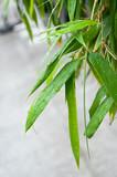 feuilles de bambous sous la pluie