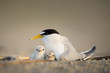 A pair of Least Tern chicks huddle in under their parent on the nest on a sandy beach early in the morning.