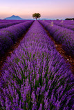 Fototapety Tree in lavender field at sunset in Provence, France
