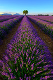 Tree in lavender field at sunset in Provence, France - 117192965