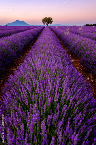 Staande foto Snoeien Tree in lavender field at sunset in Provence, France