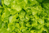 Top view on fresh green lettuce salad. Healthy food.