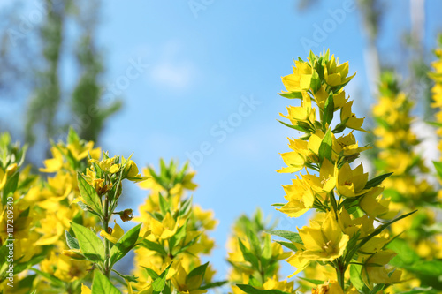 Yellow flowers, closeup