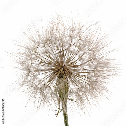 Tragopogon pratensiss close-up, isolated on white background - 117212746