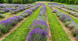 a field of lavender plants in full bloom in rows