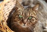 Gatto di casa con occhi verdi