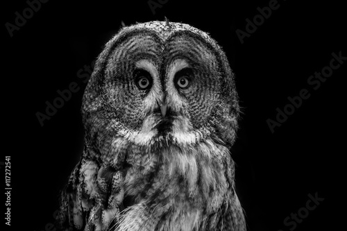 Poster Great grey owl