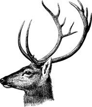 Vintage Inage jelenie głowy