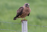 Hawk on fence post