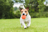 Funny pet dog playing with orange toy ball - 117309789