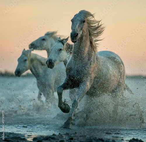 camargue horses running on the sunrise water