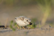 An endangered cute and tiny Piping Plover chick eats a large fly on a sandy beach in the early morning sunlight.